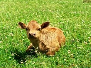 Dexter Calf by Rose Marie Belforti